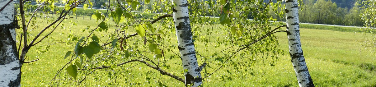 Der Birkenblätter-Blog || birch leaves